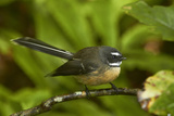 New Zealand Fantail  Hunua Ranges  Auckland  North Island  New Zealand