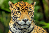 Jaguar  Belize City  Belize