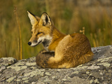 Red Fox  Resting  Rock  Lamar Valley  Yellowstone National Park  Wyoming  USA
