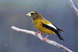 The Evening Grosbeak Is a Passerine Bird in the Finch Family Fringillidae