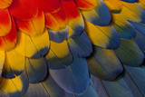 Scarlet Macaw Wing Covert Feathers