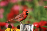 Northern Cardinal Male on Fence Post Near Flower Garden  Marion  Il