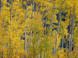 USA  Colorado  White River National Forest  Autumn Colored Grove of Quaking Aspen