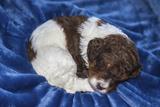 Sleeping Standard Poodles Puppies