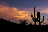 USA  Arizona  Tucson  Saguaro National Park West