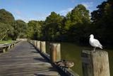 Seagull on Boardwalk by Mahurangi River  Warkworth  Auckland Region  North Island  New Zealand