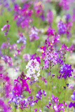 USA  California  Field of Toadflax Wildflower Selective Focus