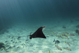 Spotted Eagle Ray  Hol Chan Marine Reserve  Belize