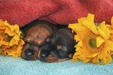 Sleeping Doxen Puppies
