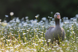 Greylag Goose Germany  Bavaria  Munich