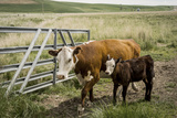 Palouse  Snake River Expedition  Pioneer Stock Farm  Cows at Pasture Gate