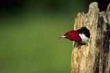 Red-Headed Woodpecker in Nest Cavity  Illinois