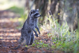 Raccoon Standing on Hind Legs Intently Looking