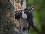 Washington  Female Pileated Woodpecker Aside Nest in Snag with Two Begging Chicks