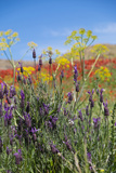 Verbena  Coreopsis  Atlantic Poppy  Lavender  Statice  Mountain Bluet and Cornflower