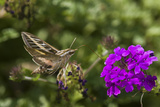 White-Lined Sphinx Moth on Homestead Purple Verbena  Marion County  Illinois