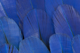 Wing Feathers of the Hyacinth Macaw