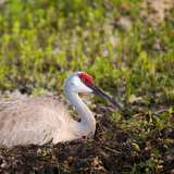 Sandhill Crane on Nest after Sunset  Florida  Wild