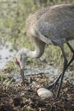 Sandhill Crane Rebuilding Nest  Florida