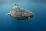 Whale Shark and Golden Trevally  Cenderawasih Bay  West Papua  Indonesia