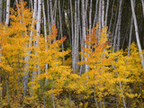 USA  Colorado  Grand Mesa National Forest  Aspen Grove with Fall Color and White Trunks