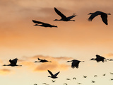 Sandhill Cranes Flying at Sunset  Bosque Del Apache National Wildlife Refuge  New Mexico