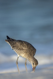 Willet Feeding on Sandflies Along Shoreline  Gulf of Mexico  Florida