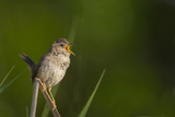 Washington  Male Marsh Wren Sings from a Grass Perch in a Marsh on Lake Washington