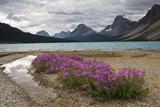 Willowherb  Bow Lake  Banff National Park  Alberta  Canada