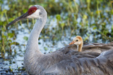 Sandhill Crane on Nest with Baby on Back  Florida