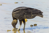 South American Black Vulture Eating Dead Fish on a Popular Beach  Puntarenas  Costa Rica