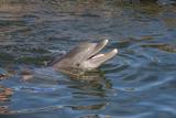 Bottlenose Dolphin  Tursiops Tursiops  Grassy Key  Florida  United States of America  North America
