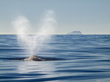 USA  California  San Diego California Gray Whale Migrating South Toward Mexico