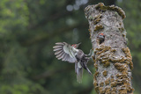 Washington  Male Pileated Woodpecker Flies to Nest in Alder Snag  with Begging Chick