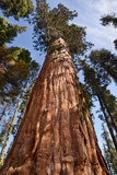 USA  California  Sequoia National Park  Giant Sequoia Ascends to the Sky