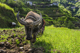 Water Buffalo Plowing Through the Rice Terraces of Banaue  Northern Luzon  Philippines