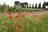 Tuscany  Italy Red Poppy
