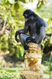 Dusky Langur Monkey (Trachypithecus Obscurus)  Prachuap Kiri Khan  Thailand  Southeast Asia  Asia