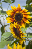 USA  Massachusetts  Cape Ann  Gloucester  Annisquam  Sunflowers