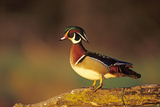 Wood Duck Male on Log in Wetland  Marion County  Illinois