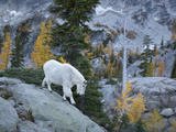 Washington  Adult Mountain Goat Steps Down a Rock Face in the Alpine Lakes Wilderness