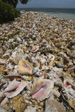 Queen Conch Shells Harvested for their Meat  Hat Caye  Lighthouse Reef  Atoll  Belize