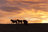 Welsh Ponies Silhouetted Against the Dawn Sky on the Mynydd Epynt High Moorland  Powys  Wales  UK
