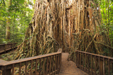 The Giant Fig Tree on the Atherton Tablelands Is a Popular Tourist Destination in Queensland