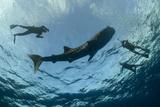 Whale Shark and Tourist Cenderawasih Bay  West Papua  Indonesia