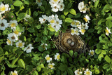 Song Sparrow Nest with Eggs in Blackberry Bush  Il