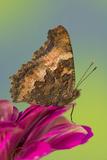 Tortoise-Shell Butterfly