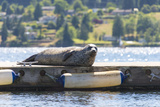 Washington  Poulsbo Harbor Seal Hauled Out Has Whimsical Curled Whiskers