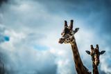 Girraffe (Giraffa Camelopardalis) in Captivity  United Kingdom  Europe