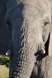 South Africa  Eastern Cape  East London Inkwenkwezi Game Reserve African Elephant